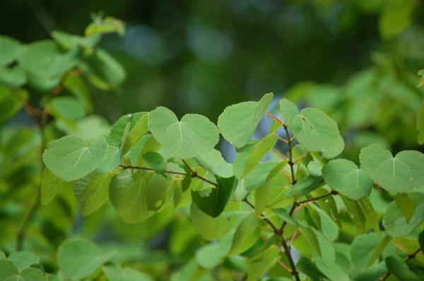 カツラ (植物)の画像 p1_9